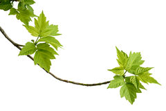 Τέφρα-με φύλλα κλάδος σφενδάμνου Στοκ Φωτογραφίες