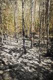 Τέφρα στην ξύλινη κατακόρυφο Στοκ φωτογραφίες με δικαίωμα ελεύθερης χρήσης