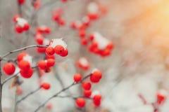 τέφρα χειμερινών βουνών στο δάσος στη μακρο μαγνητοσκόπηση χιονιού juicy ώριμος επάνω χειμώνας των βακκίνιων μούρων στενός Στοκ φωτογραφία με δικαίωμα ελεύθερης χρήσης
