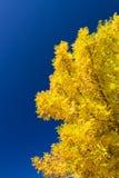 τέφρα χρυσή στοκ φωτογραφίες με δικαίωμα ελεύθερης χρήσης
