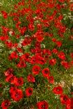 τέχνης ανασκόπησης συνόρων χαριτωμένη ταπετσαρία παπαρουνών προτύπων λουλουδιών σχεδίου θηλυκή filigree floral διανυσματική εκλεκ Στοκ φωτογραφίες με δικαίωμα ελεύθερης χρήσης