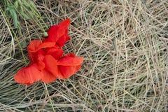 τέχνης ανασκόπησης συνόρων χαριτωμένη ταπετσαρία παπαρουνών προτύπων λουλουδιών σχεδίου θηλυκή filigree floral διανυσματική εκλεκ Στοκ φωτογραφία με δικαίωμα ελεύθερης χρήσης