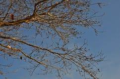 Τέχνη των κλάδων και ξηρός - φρούτα στο μπλε ουρανό Στοκ Φωτογραφία
