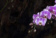 Τέχνη υποβάθρου της Ταϊλάνδης λουλουδιών ορχιδεών Στοκ Εικόνα