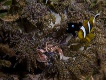 Τέλεια υποβρύχια συμβίωση μεταξύ του clownfish, του καβουριού πορσελάνης και του anemone, Μοζαμβίκη, Αφρική Στοκ Εικόνα
