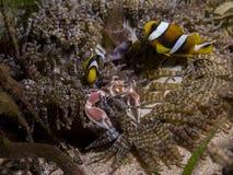 Τέλεια υποβρύχια συμβίωση μεταξύ του clownfish, του καβουριού πορσελάνης και του anemone, Μοζαμβίκη, Αφρική Στοκ φωτογραφία με δικαίωμα ελεύθερης χρήσης