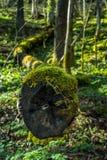 Τέλος του πεσμένου δέντρου στα ξύλα Στοκ Φωτογραφίες