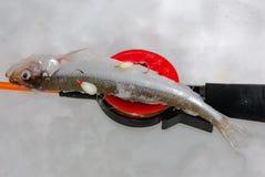 τήξη ψαριών Στοκ Φωτογραφία