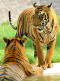 τίγρες δύο Στοκ εικόνα με δικαίωμα ελεύθερης χρήσης