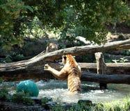 Τίγρες που αρχίζουν να παλεύει Στοκ φωτογραφία με δικαίωμα ελεύθερης χρήσης