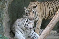 τίγρες της Βεγγάλης Στοκ φωτογραφία με δικαίωμα ελεύθερης χρήσης