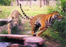 τίγρες δύο Στοκ Φωτογραφίες