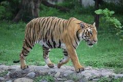 Τίγρη βασιλική Βεγγάλη Στοκ Εικόνες