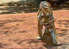 Τίγρη Βεγγάλη στοκ φωτογραφία