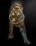Τίγρη Βεγγάλη στοκ φωτογραφία με δικαίωμα ελεύθερης χρήσης