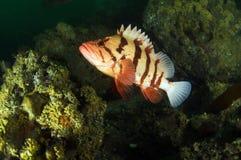 τίγρη βράχου ψαριών Στοκ Φωτογραφίες