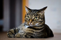 Τίγρη γατών Στοκ εικόνα με δικαίωμα ελεύθερης χρήσης