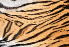 τίγρη δερμάτων Στοκ φωτογραφίες με δικαίωμα ελεύθερης χρήσης