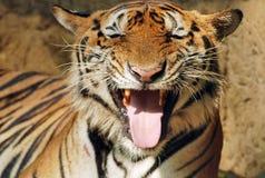 Τίγρη διψασμένη Στοκ φωτογραφίες με δικαίωμα ελεύθερης χρήσης