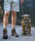 Τίγρη και χειριστής μωρών Στοκ Εικόνες