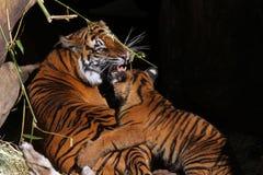 Τίγρη και Cub μητέρων Στοκ φωτογραφίες με δικαίωμα ελεύθερης χρήσης
