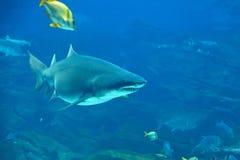 τίγρη καρχαριών Στοκ εικόνες με δικαίωμα ελεύθερης χρήσης