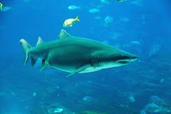 τίγρη καρχαριών Στοκ Εικόνα