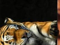 Τίγρη κοιμώμεών στοκ φωτογραφία με δικαίωμα ελεύθερης χρήσης