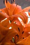 τίγρη κρίνων λουλουδιών Στοκ Εικόνα