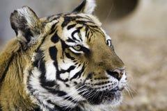 τίγρη ματιών στοκ εικόνα