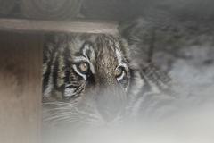 τίγρη ματιών s Στοκ εικόνα με δικαίωμα ελεύθερης χρήσης