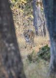 Τίγρη μεταξύ δύο δέντρων Στοκ εικόνες με δικαίωμα ελεύθερης χρήσης