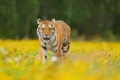 Τίγρη με τα κίτρινα λουλούδια Σιβηρική τίγρη στον όμορφο βιότοπο Συνεδρίαση τιγρών Amur στη χλόη Ανθισμένο λιβάδι με το anima κιν Στοκ φωτογραφία με δικαίωμα ελεύθερης χρήσης