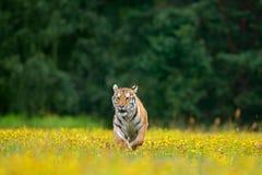 Τίγρη με τα κίτρινα λουλούδια Σιβηρική τίγρη στον όμορφο βιότοπο Συνεδρίαση τιγρών Amur στη χλόη Ανθισμένο λιβάδι με το anima κιν Στοκ Φωτογραφία