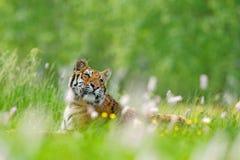 Τίγρη με τα ρόδινα και κίτρινα λουλούδια Σιβηρική τίγρη στον όμορφο βιότοπο Συνεδρίαση τιγρών Amur στη χλόη Ανθισμένο λιβάδι με D Στοκ Φωτογραφία