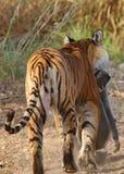 Τίγρη με τη θανάτωση πιθήκων Στοκ Εικόνες