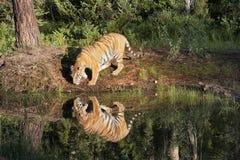 Τίγρη με τη σαφή αντανάκλαση στον ποταμό Στοκ εικόνες με δικαίωμα ελεύθερης χρήσης