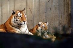 Τίγρη με τις νεολαίες Στοκ Εικόνα