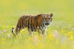 Τίγρη με το μεταλλικό θόρυβο και τα κίτρινα και ρόδινα λουλούδια Σιβηρική τίγρη στον όμορφο βιότοπο Συνεδρίαση τιγρών Amur στη χλ Στοκ εικόνα με δικαίωμα ελεύθερης χρήσης