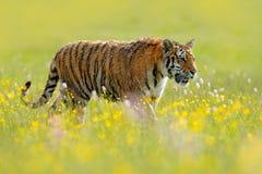Τίγρη με το μεταλλικό θόρυβο και τα κίτρινα λουλούδια Σιβηρική τίγρη στον όμορφο βιότοπο Συνεδρίαση τιγρών Amur στη χλόη Καλοκαίρ Στοκ Εικόνες