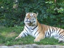 Τίγρη ο βασιλιάς Στοκ Εικόνες