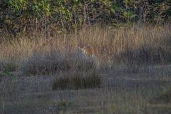 Τίγρη πίσω από το θάμνο Στοκ Εικόνα