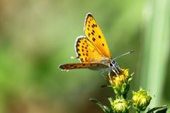 τίγρη πεταλούδων στοκ φωτογραφία