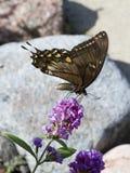 τίγρη πεταλούδων swallowtail Στοκ Εικόνες
