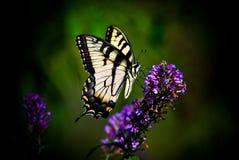 τίγρη πεταλούδων swallowtail Στοκ Φωτογραφίες