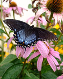 τίγρη πεταλούδων swallowtail Στοκ εικόνα με δικαίωμα ελεύθερης χρήσης