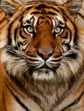 τίγρη πορτρέτου Στοκ φωτογραφία με δικαίωμα ελεύθερης χρήσης