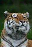 τίγρη πορτρέτου στοκ εικόνα