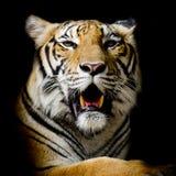 Τίγρη, πορτρέτο μιας τίγρης της Βεγγάλης Στοκ Φωτογραφίες