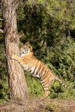 Τίγρη που αναρριχείται στο δέντρο Στοκ Εικόνες